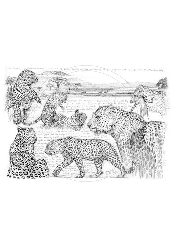 Marcello-art: African Wildlife 247 - H&H Big Five Leopard