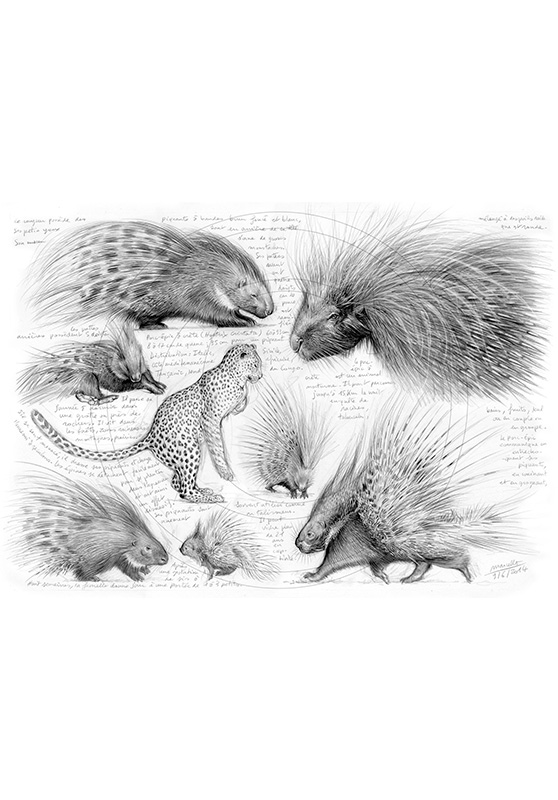 Marcello-art: African Wildlife 260 - African crested porcupine