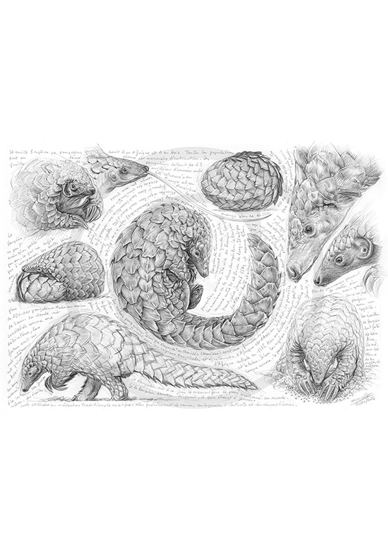 Marcello-art : Faune Africaine 276 - Pangolin de Temminck