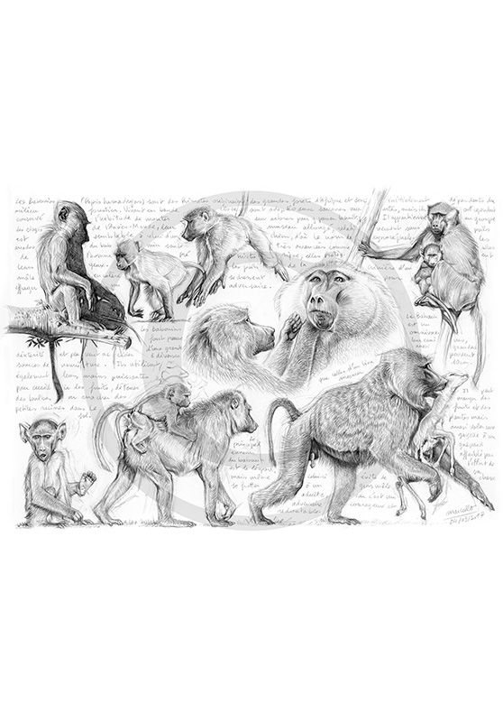 Marcello-art : Faune Africaine 365 - Cynocéphales