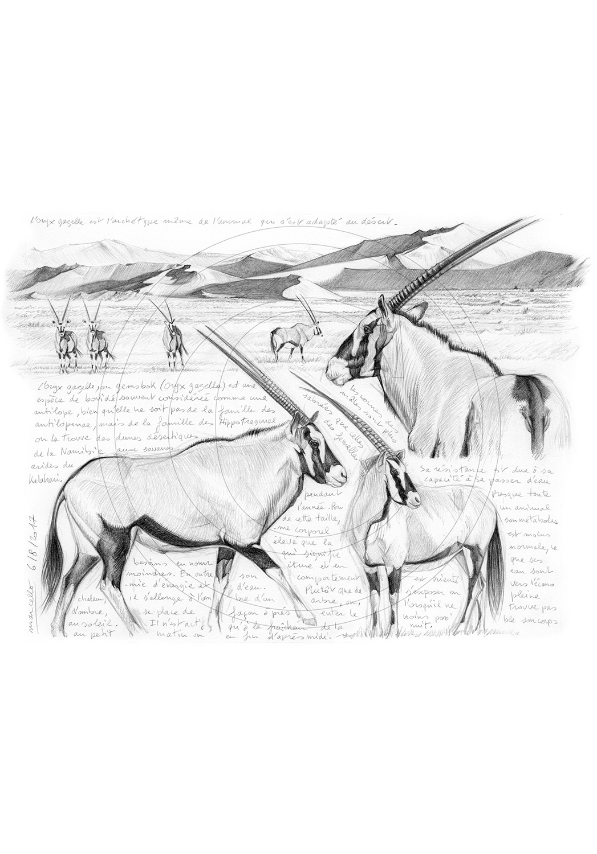 Marcello-art : Faune Africaine 370 - Oryx gazelle