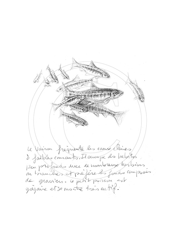 Marcello-art: Aquatic fauna 45 - Minnows