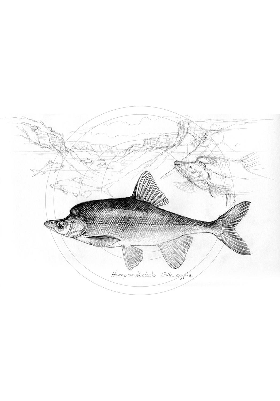 Marcello-art: Aquatic fauna 113 - Humpback-chub-gila-cypha