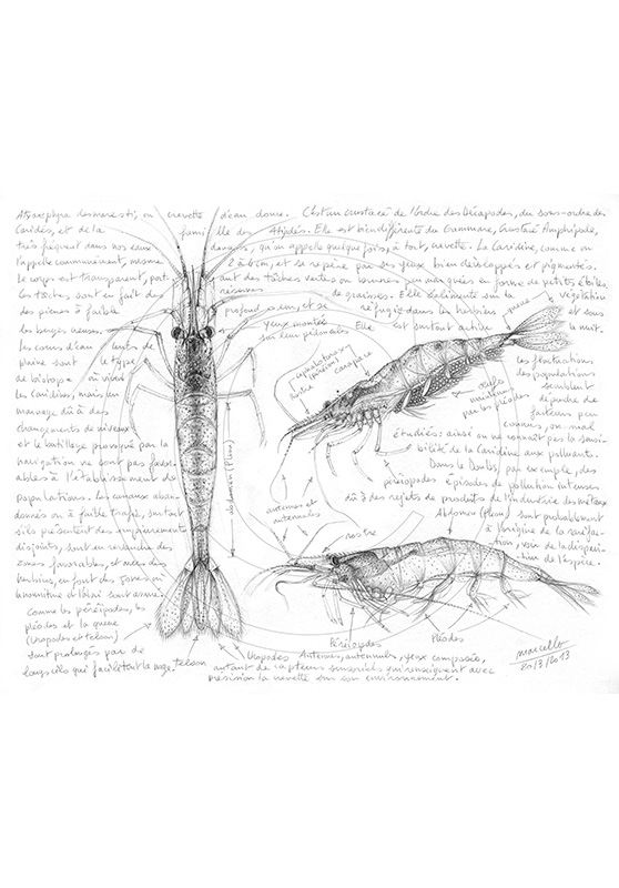 Marcello-art: Aquatic fauna 220 - Freshwater shrimp