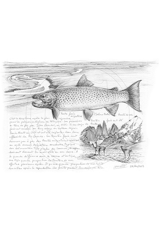 Marcello-art: Aquatic fauna 243 - Sea trout