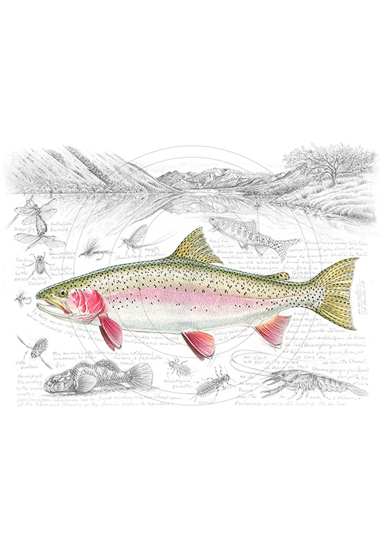 Marcello-art: Aquatic fauna 373 - New Zealand rainbow trout
