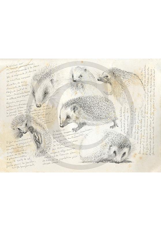 Marcello-art: Fauna temperate zone 23 - Hedgehog