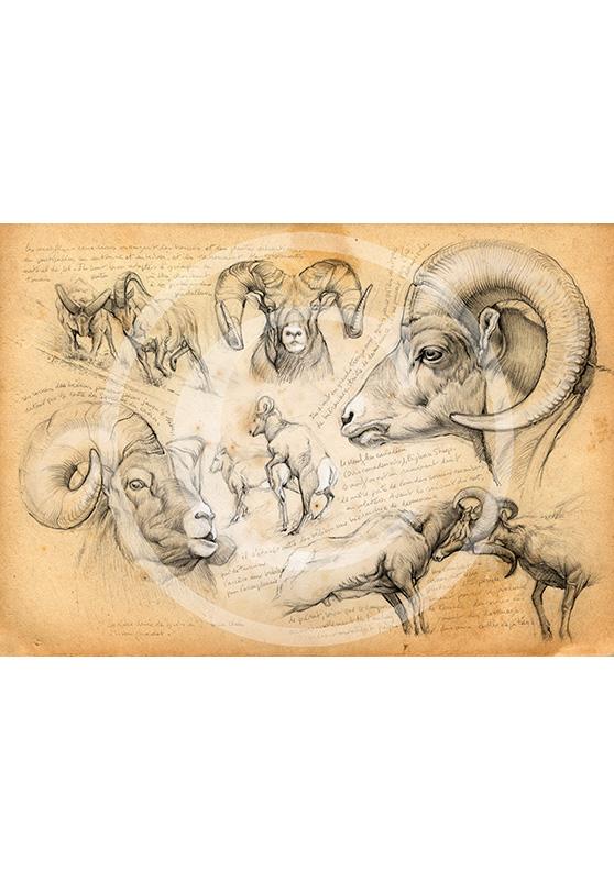 Marcello-art: Fauna temperate zone 51 - Bighorn sheep