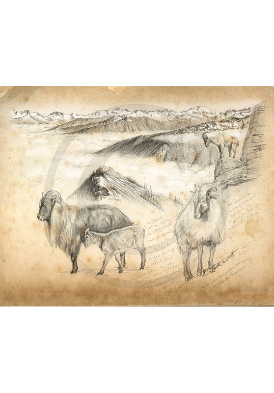 Marcello-art: Fauna temperate zone 208 - Himalayan Thar