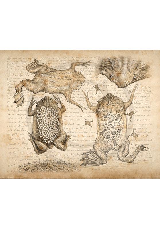 Marcello-art: Fauna temperate zone 209 - Pipa pipa frog