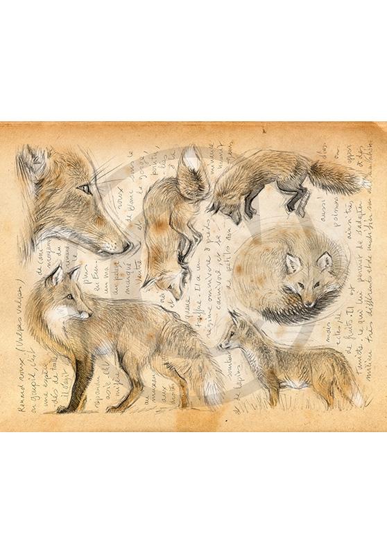 Marcello-art: Fauna temperate zone 336 - Red fox
