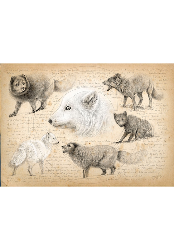Marcello-art: Fauna temperate zone 339 - Melrakki, Icelandic Arctic fox