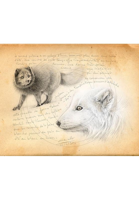 Marcello-art: Fauna temperate zone 340 - Melrakki, couple polar foxes