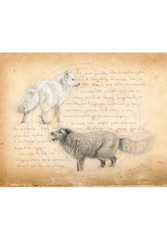 Marcello-art: Fauna temperate zone 341 - Melrakki, couple polar foxes