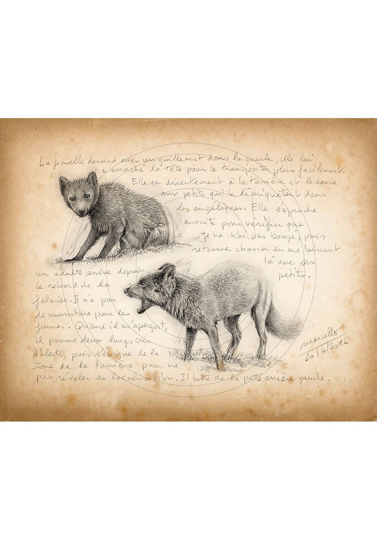 Marcello-art: Fauna temperate zone 342 - Melrakki, Young arctic fox