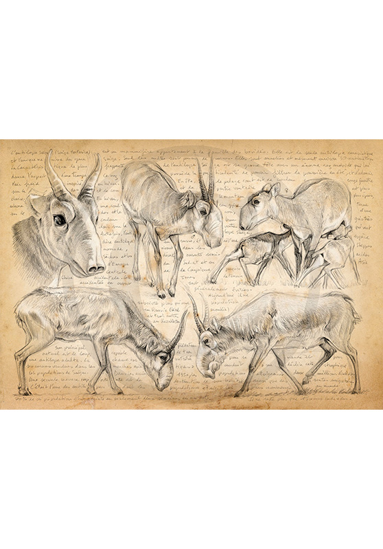 Marcello-art: Fauna temperate zone 345 - Saiga tartarica