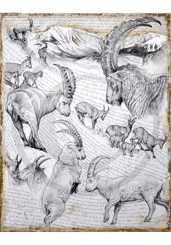 Marcello-art: Fauna temperate zone 348 - Alpine Ibex