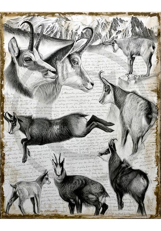 Marcello-art: Fauna temperate zone 349 - R. rupicapra cartusiana