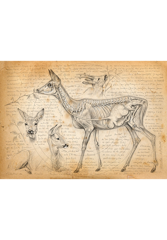 Marcello-art: Fauna temperate zone 361 - Rumination of deer