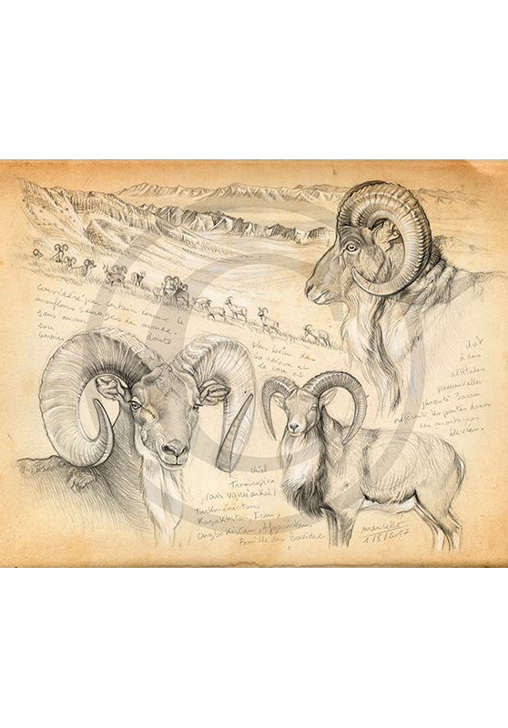 Marcello-art: Fauna temperate zone 369 - Trans Caspian Urial