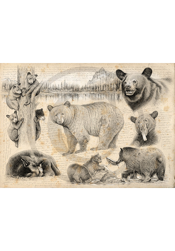 Marcello-art: Fauna temperate zone 382 - Black bear