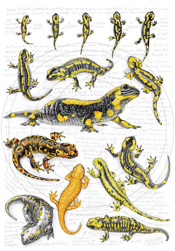 Marcello-art : Faune zone tempérée 383 - Sous espèces salamandres