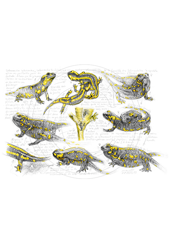 Marcello-art: Fauna temperate zone 384 - Salamander mating