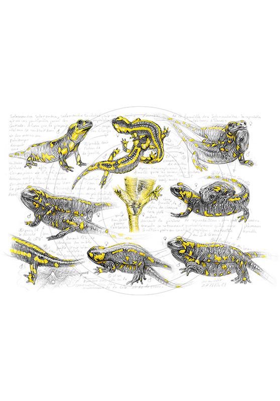 Marcello-art : Faune zone tempérée 384 - Accouplement salamandre