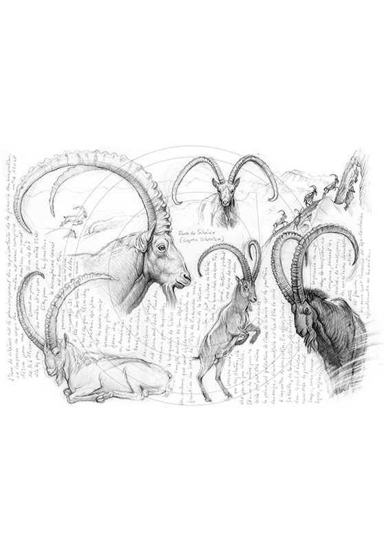 Marcello-art : Faune zones tempérées 55 - Ibex de Sibérie