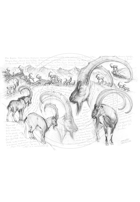Marcello-art : Faune zones tempérées 189 - Ibex bézoard
