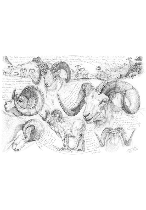 Marcello-art: Wild temperate zones 191 - Dall Sheep