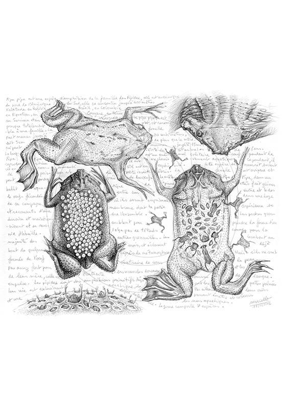 Marcello-art : Faune zones tempérées 209 - Grenouille Pipa pipa