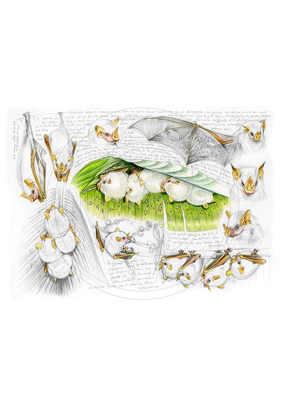 Marcello-art : Faune zones tempérées 253 - Chauve-souris blanche Ectophylla alba