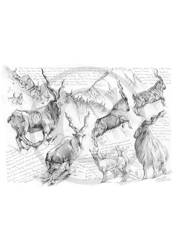 Marcello-art: Wild temperate zones 332 - Bukharan Markhor