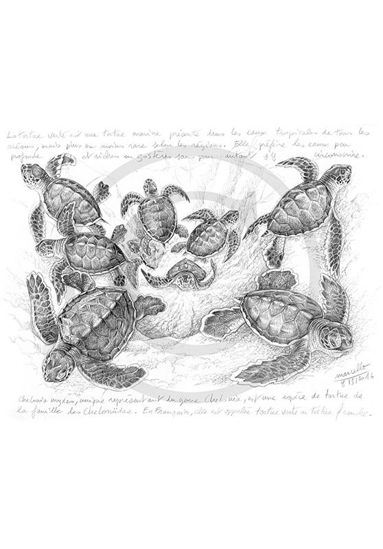 Marcello-art: Wild temperate zones 334 - Green turtles