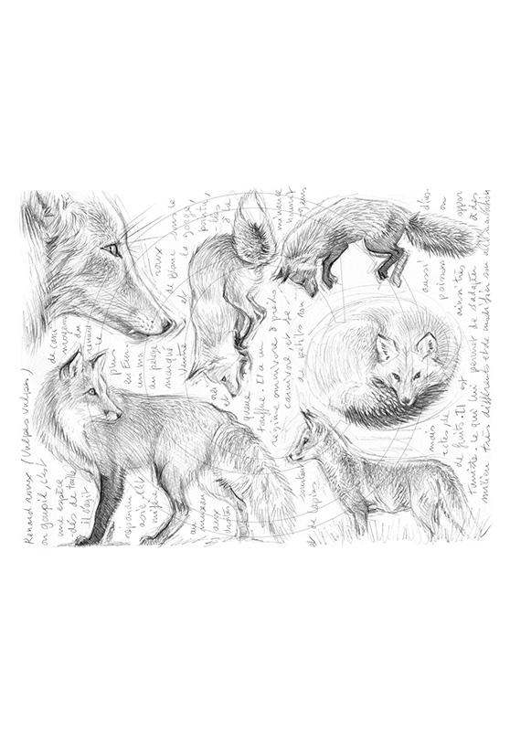 Marcello-art: Wild temperate zones 336 - Red fox