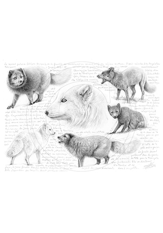 Marcello-art: Wild temperate zones 339 - Melrakki, Icelandic Arctic fox