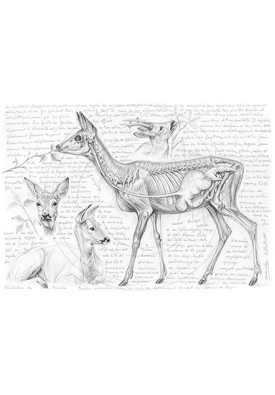 Marcello-art : Faune zones tempérées 361 - Rumination du chevreuil