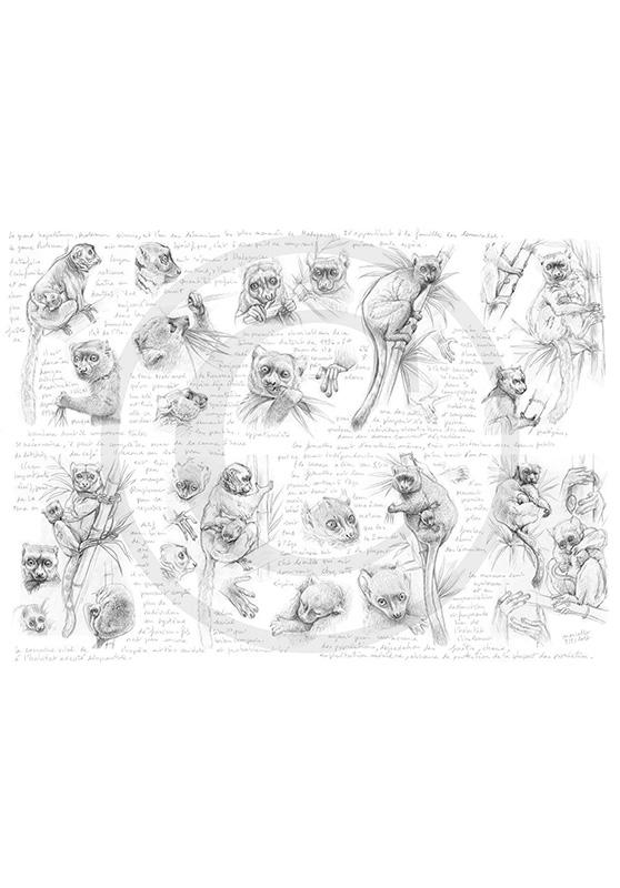 Marcello-art : Faune zones tempérées 366 - Grand hapalémur