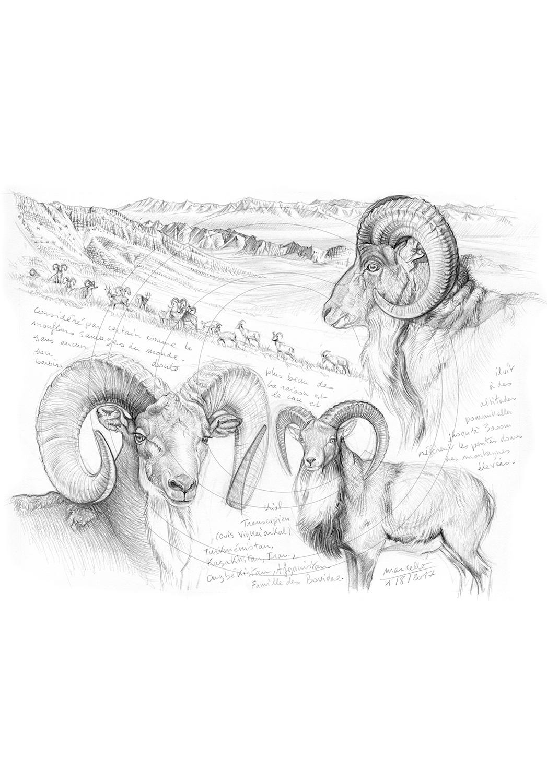Marcello-art : Faune zones tempérées 369 - Urial transcaspien