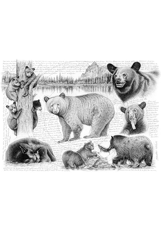 Marcello-art : Faune zones tempérées 382 - Ours noir
