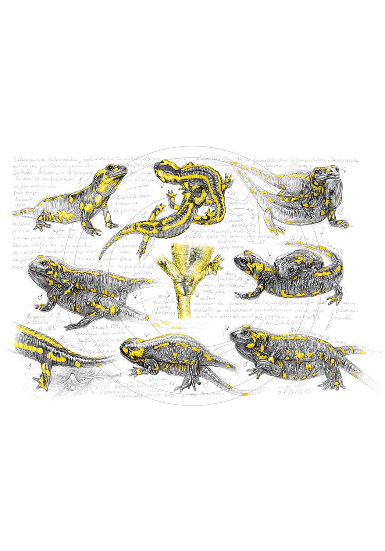 Marcello-art : Faune zones tempérées 384 - Accouplement salamandre