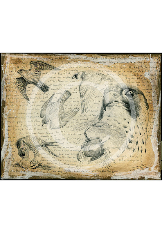 Marcello-art: Originals on canvas 174 - Pelegrine falcon 02