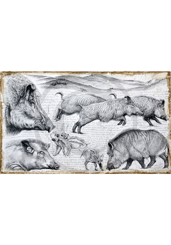Marcello-art : Originaux sur toile 347 - Sus scrofa