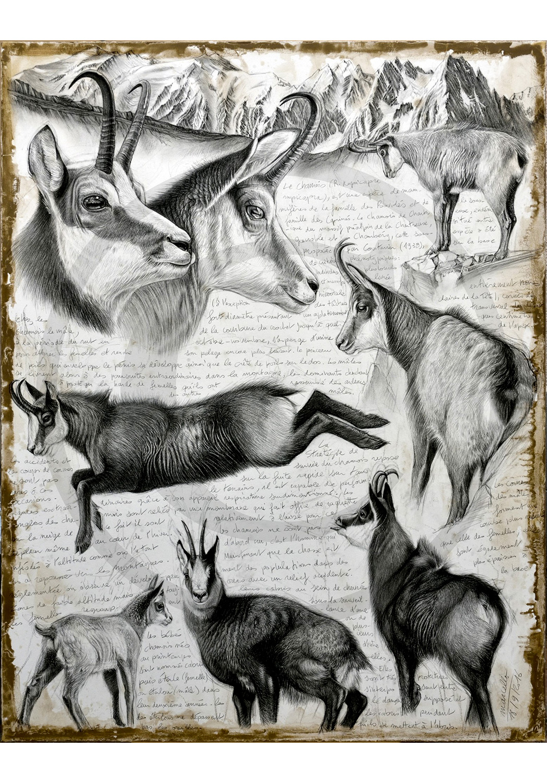 Marcello-art: Originals on canvas 349 - R. rupicapra cartusiana