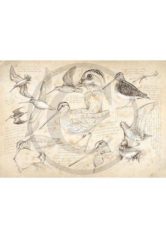 Marcello-art : Ornithologie 12 - Bécassine