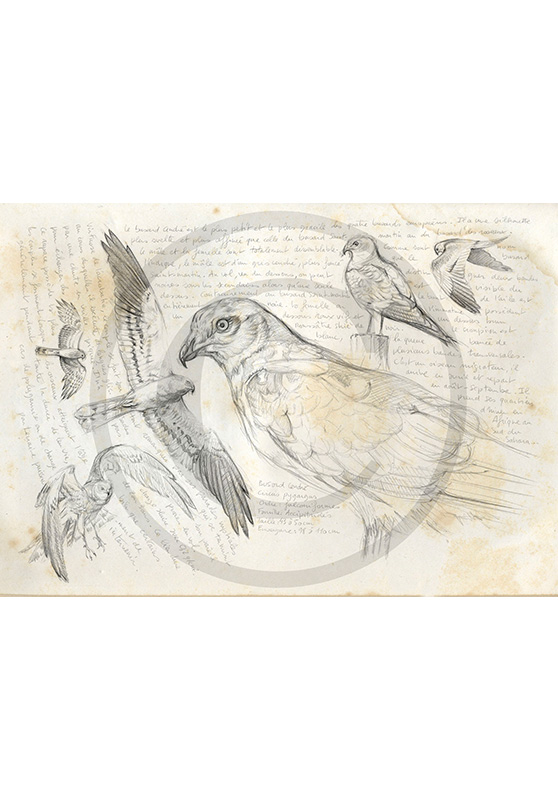 Marcello-art : Ornithologie 14 - Circus pygargus