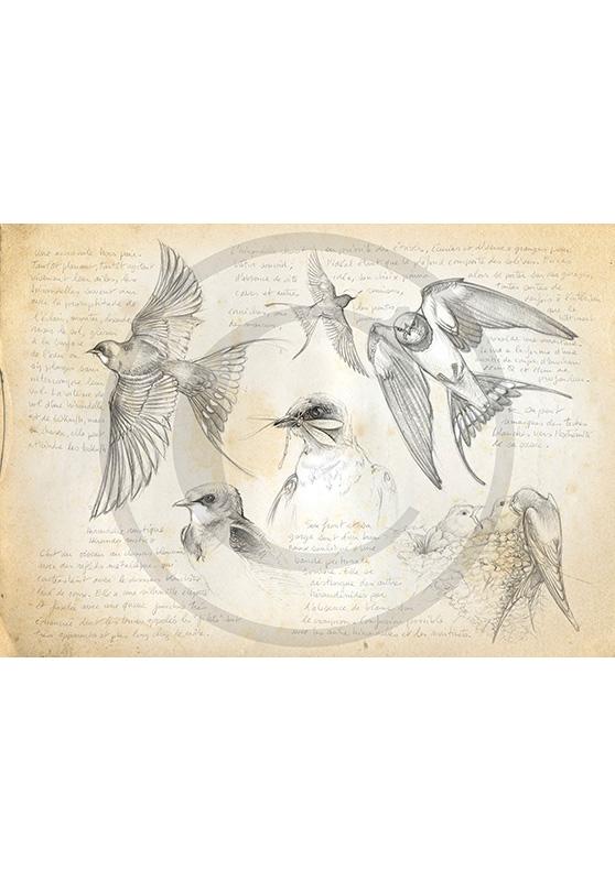Marcello-art: Ornithology 24 - Swallow