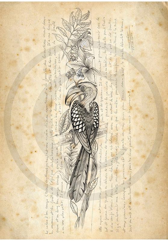Marcello-art: Ornithology 116 - Red-billed Hornbill
