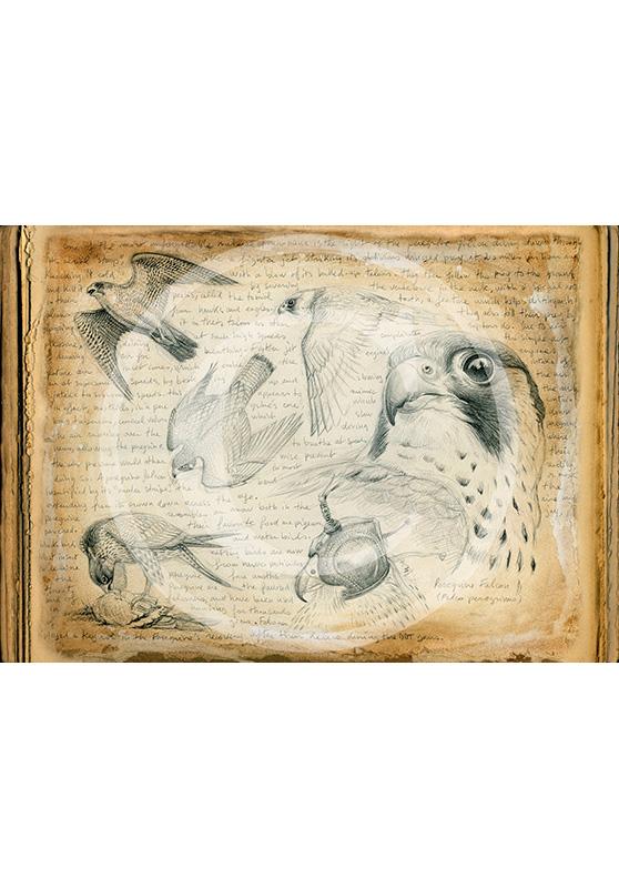 Marcello-art: Ornithology 174 - Pelegrine falcon 02
